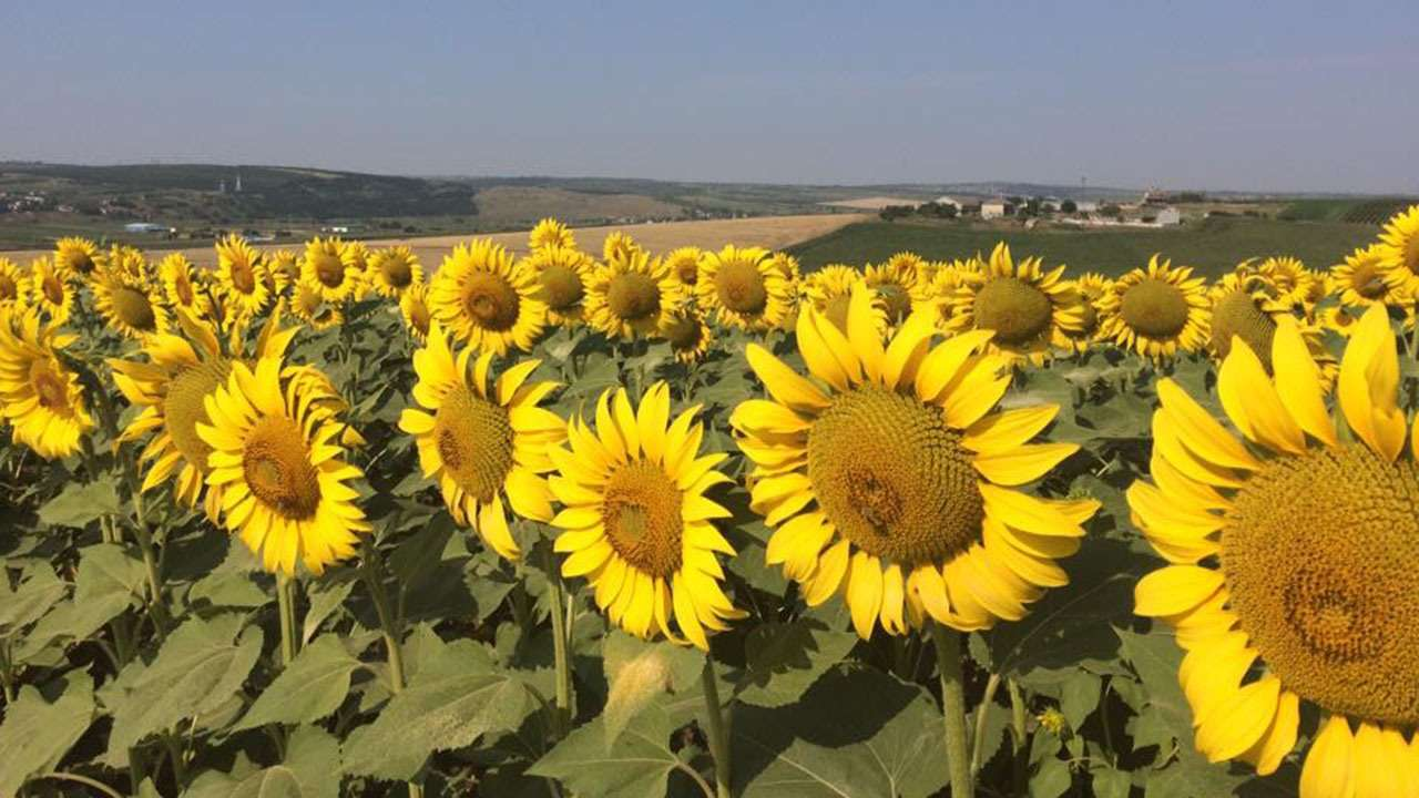 Moldova Sunflowers